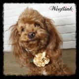 Hunde-Collier 'Gold Rose'
